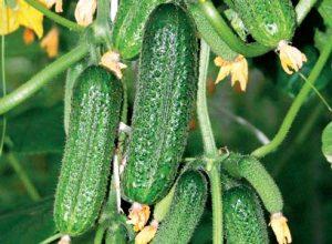 Какие сорта огурцов самые урожайные для открытого грунта