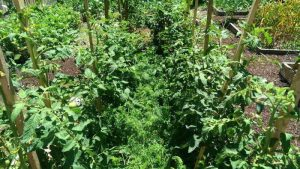 Высаживаем рассаду помидоров в теплице