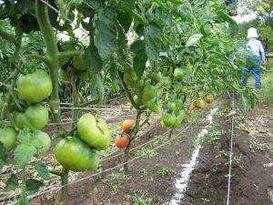 Как и когда нужно обрезать листья у помидоров