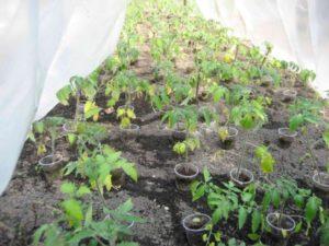 первая подкормка помидоров после высадки