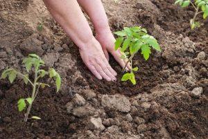 Можно ли ускорить рост рассады помидора