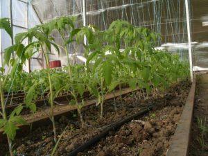 высаживать помидоры в теплицу в Сибири