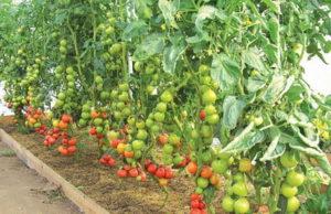 Когда помидоры переносят в теплицу