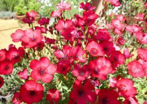Особенности выращивания из семян красного льна на дачном участке