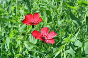 выращивания из семян красного льна