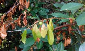 на вишне сохнут ветки и листья и как это исправить