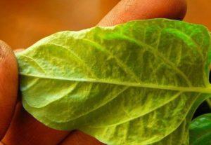 Что делать, если на листьях перца появились пупырышки