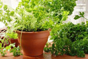 Как можно вырастить петрушку на подоконнике
