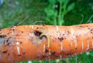 обработать морковь от проволочника