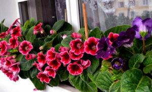 Как можно выращивать глоксинию из семян в домашних условиях