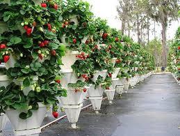 Как можно выращивать клубнику в домашних условиях круглый год