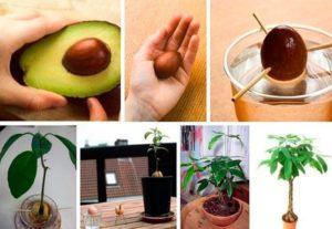 Особенности выращивания авокадо из косточки в домашних условиях