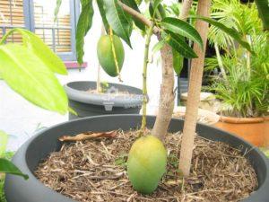 Особенности выращивания манго из косточки в домашних условиях
