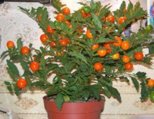 Особенности выращивания хурмы из косточки в домашних условиях