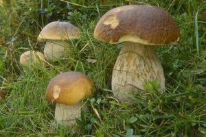 Пошаговое выращивание белых грибов в домашних условиях