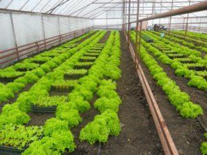 Пошаговое выращивание салата в домашних условиях