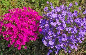 Советы по выращиванию цветка вискария из семян дома