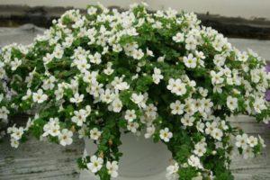 Выращивание, фото и уход в домашних условиях за бакопой