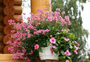 Выращивание, фото и уход в домашних условиях за диасцией