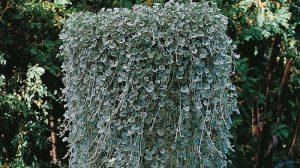 Выращивание, фото и уход в домашних условиях за дихондрой «серебристый водопад»