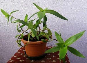 Выращивание и уход за растением золотой ус