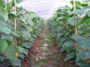Выращивание киви в домашних условиях