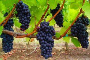 Выращивание винограда в средней полосе для начинающих