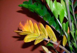 Что делать, если желтеют листья у комнатных растений