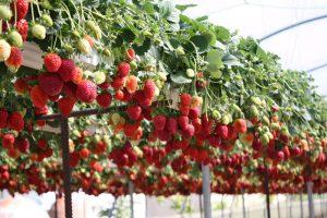 Что нужно для выращивания клубники в теплице круглый год: