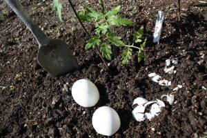 Для каких растений подходит яичная скорлупа как удобрение и как их использовать