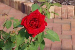 Как можно подготовить розы к зиме на даче