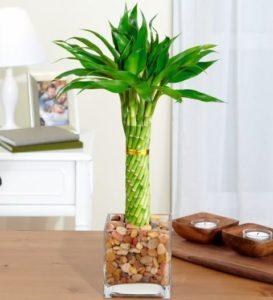 Как можно посадить бамбук в домашних условиях