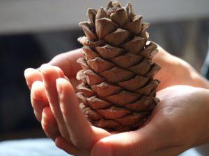 Как посадить кедровый орех в домашних условиях и ухаживать за ним