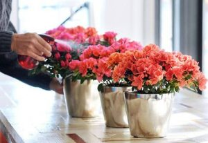 Как правильно поливать азалию зимой в домашних условиях