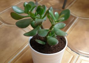 Как правильно поливать денежное дерево зимой в домашних условиях