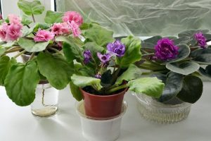 Как правильно поливать фиалку зимой в домашних условиях