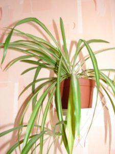 Как правильно поливать хлорофитум зимой в домашних условиях