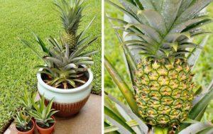 Как правильно посадить верхушку ананаса в домашних условиях