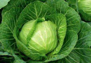 Как выращивать белокочанную капусту в открытом грунте