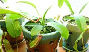 Какие есть насекомоядные комнатные растения