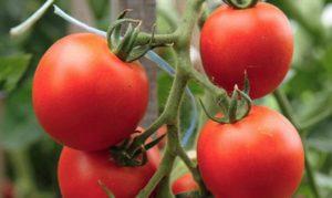Какие есть скороспелые сорта томатов для теплиц