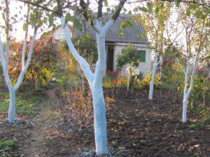 Когда лучше всего белить деревья в саду