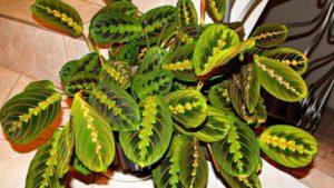 Лучшие декоративно-лиственные комнатные растения