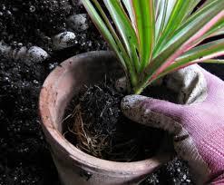 Можно ли пересаживать комнатные растения зимой