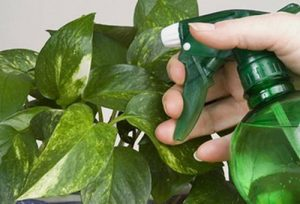 Основные способы борьбы с белокрылкой на комнатных растениях