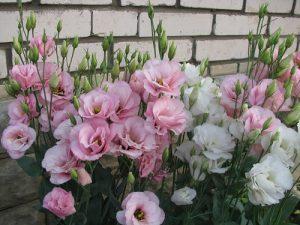 Особенности выращивания и ухода за эустомой в домашних условиях