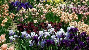 Особенности выращивания ирисов в открытом грунте
