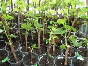 Особенности выращивания винограда из черенков в домашних условиях