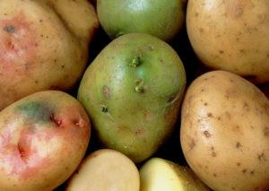 Почему картошка зеленеет при хранении