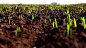 Пошаговый посев озимой пшеницы